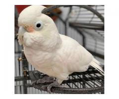 Macaw Parrots Chicks for Sale