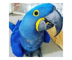 Hyacinth Macaw Parrot available For Sale @ https://www.macawbabies.com/